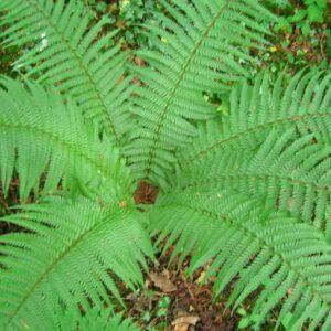 Dryopteris affinis – Mannetjesvaren