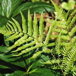 Dryopteris erythrosora – Herfstvaren 2
