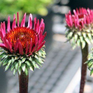 Echinacea purpurea 'Fatal Attraction' 2