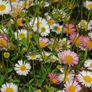 Asteraceae - Erigeron karvinskianus