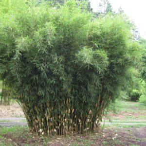 Fargesia robusta 'Pingwu'2