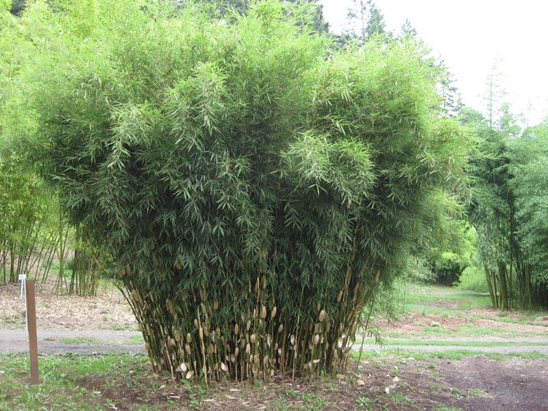bestel fargesia robusta pingwu voordelig bij plantenweelde. Black Bedroom Furniture Sets. Home Design Ideas