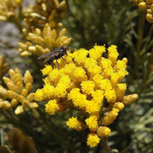 Helichrysum italicum 2