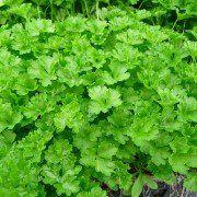 Petroselinum crispum 2