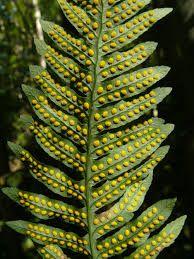 Polypodium vulgare – Eikvaren 2