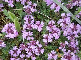 Thymus vulgaris 2