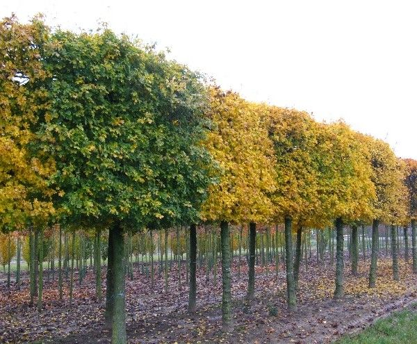 Acer campestre 'Elsrijk'3