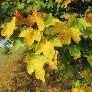 Acer campestre (Veldesdoorn) 4