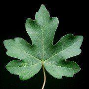 Acer campestre (veldesdoorn) 3