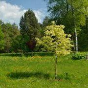Acer platanoides 'Drummondii' 2
