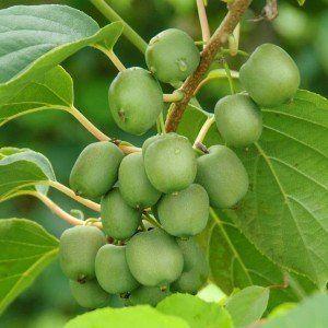 Actinidia arguta 'Issai' (zelfbestuivende mini-kiwi)