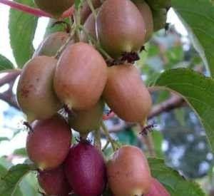 Actinidia arguta 'Ken's Red' (Vrouwelijke kiwibes)