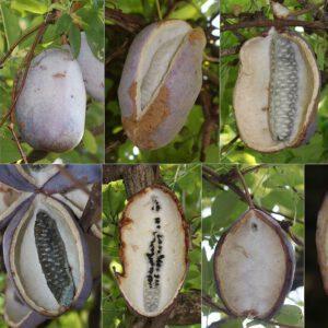 Akebia quinata – Schijnaugurk 3