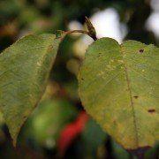 Amelanchier arborea 'Robin Hill' 2