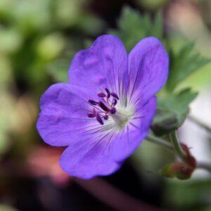 Geranium 'Rozanne' 2