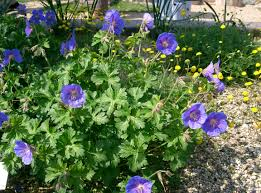 Geranium himalayense 'Johnson's Blue'