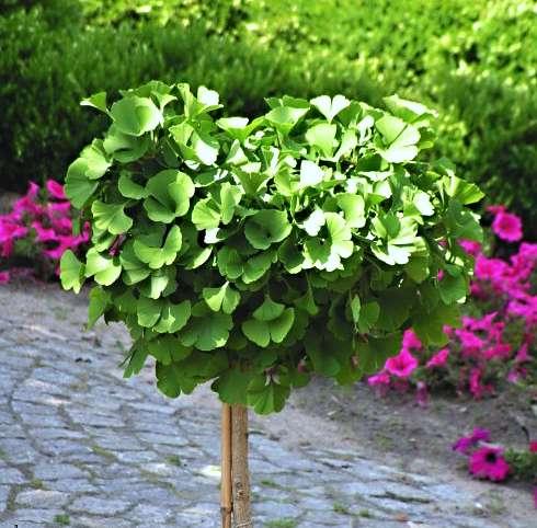 bestel ginkgo biloba mariken voordelig bij plantenweelde. Black Bedroom Furniture Sets. Home Design Ideas