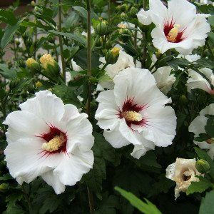 Hibiscus syr. 'Red Hearth'