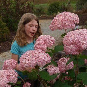 Hydrangea arborescens 'Invincibelle' 3