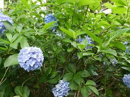 Hydrangea m. 'Nikko Blue'