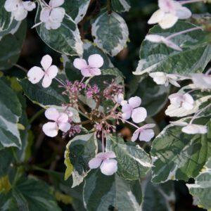 In de Kruidtuin Hydrangea macrophylla 'White Wave' Category:Hydrangea macrophylla cultivars