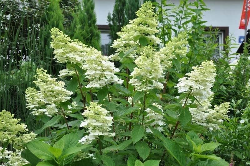bestel hydrangea paniculata 39 kyushu 39 voordelig bij. Black Bedroom Furniture Sets. Home Design Ideas