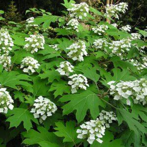 Hydrangea quercifolia – Eikenbladhortensia