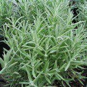 Lavandula angustifolia 'Muntstead' 2