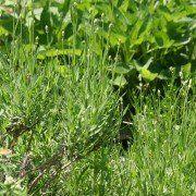 Lavandula angustifolia 'Muntstead' 3