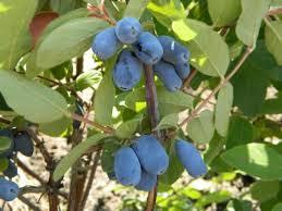 Lonicera caerulea 'Morena' (honingbes)