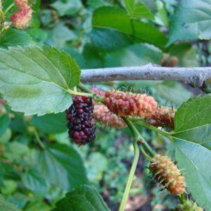 Morus nigra (Moerbei, struik) 2