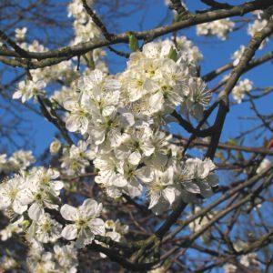 Prunus 'Opal'