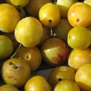 Prunus 'Reine Claude Verte' 2