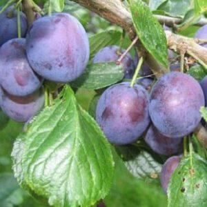 Prunus 'Bleue de Belgique'