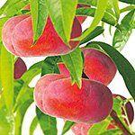 Prunus Persacia Flateryna