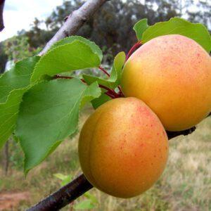 Prunus armeniaca (Abrikoos)
