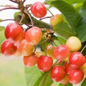 Prunus avium 'Big. Napoleon'
