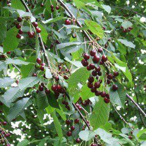 Prunus avium 'Sunburst'