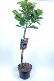 Prunus laurocerasus 'Etna'®2