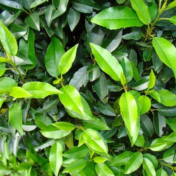 Prunus lusitanica 'Angustifolia' 1