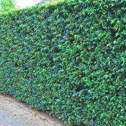 Prunus lusitanica 'Angustifolia'2