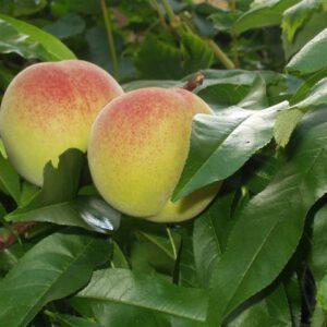 Prunus persica 'Madame Blanchet'