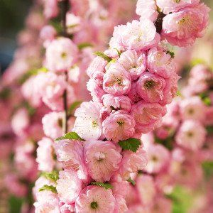 Prunus triloba 2