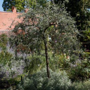 In de Kruidtuin Pyrus salicifolia 'pendula' hybride Category:Pyrus salicifolia