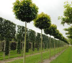 Quercus palustris 'Green Dwarf'1