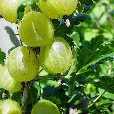 "Ribes 'Hinnonmaki Gron"""