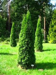 Thuja occidentalis 'Smaragd' 2