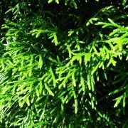 Thuja occidentalis 'Smaragd' 3