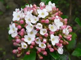Viburnum burkwoodii 'Anne Russel'
