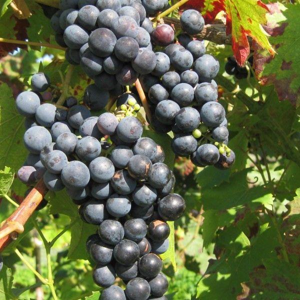 Grona winorośli odmiany 'Regent'